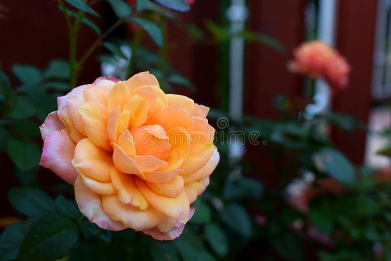 Roze oranje nam het bloeien close-upmacro toe royalty-vrije stock foto's