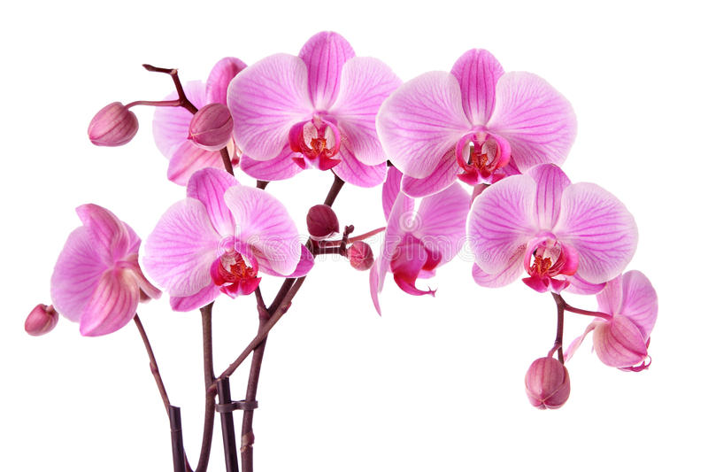 Roze orchideeën stock afbeelding