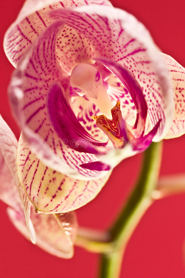 Roze orchidee stock foto's