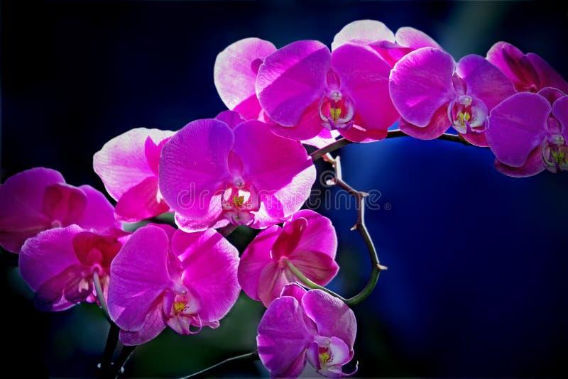 Download Roze Orchidee stock foto. Afbeelding bestaande uit orchidee - 54088358