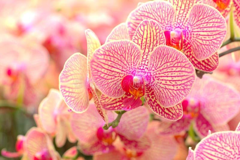 Roze Orchidee stock afbeelding