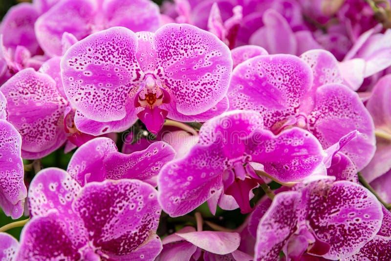 Roze orchidee bloembos Tropische botanische tuinkleding textuur van orchidebloem, gepolijst Helderroze tropische bloem stock fotografie