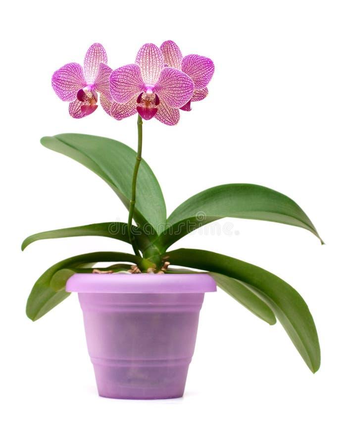 Roze orchidee in de pot royalty-vrije stock afbeelding