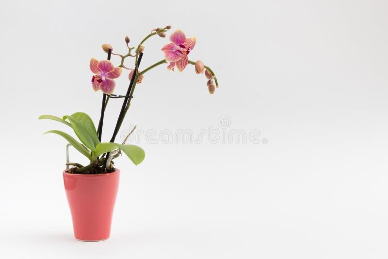 Roze orchidee in een roze bloempot op wit royalty-vrije stock foto's