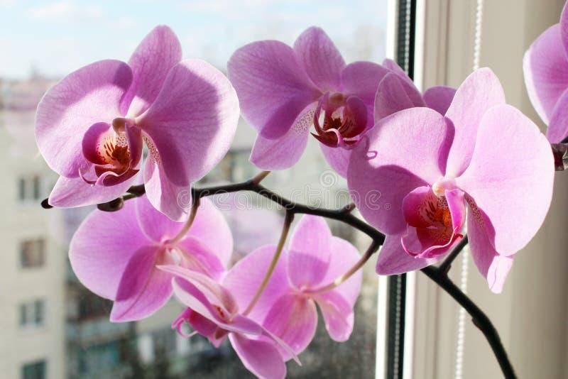 Roze orchidee op het venster stock foto