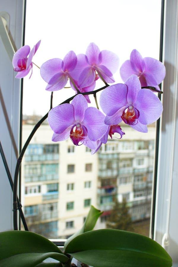 Roze orchidee op het venster royalty-vrije stock foto's