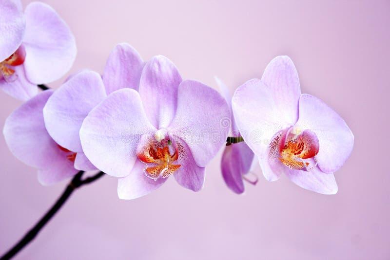 Roze Orchidee Tak van bloeiende decoratieve bloem stock afbeeldingen