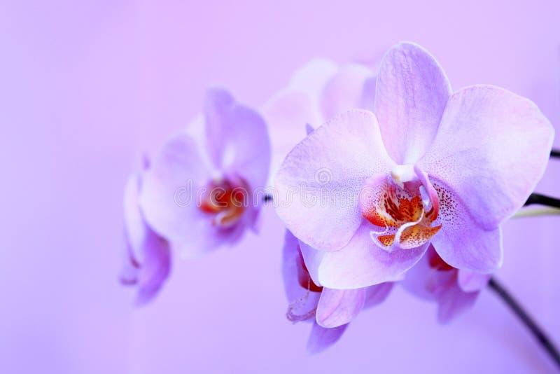 Roze Orchidee Tak van de bloeiende decoratieve bloem stock fotografie