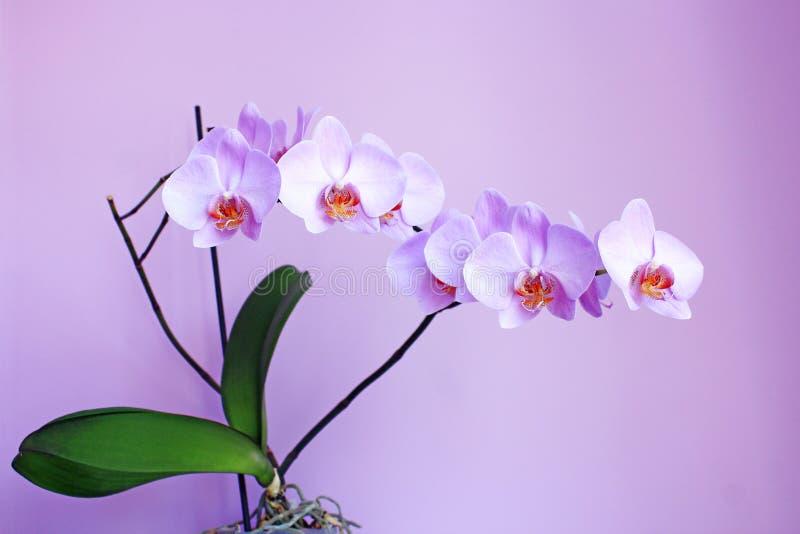 Roze Orchidee Tak van de bloeiende decoratieve bloem stock afbeeldingen