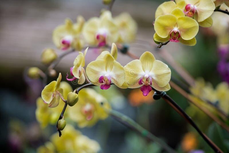 Roze orchideebloem royalty-vrije stock foto's