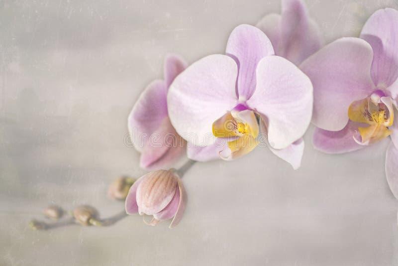 Roze Orchideebloem op Grijze achtergrond royalty-vrije stock fotografie