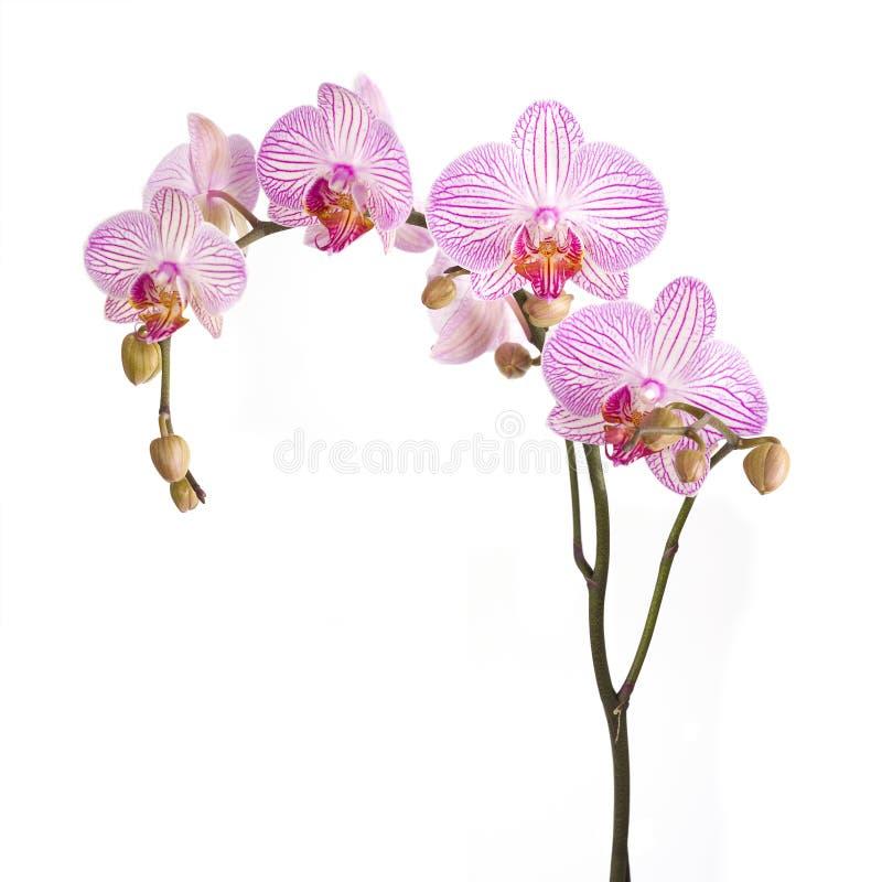 Roze orchideebloemen royalty-vrije stock afbeelding