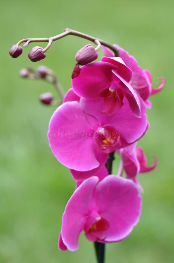 Roze Orchideeknoppen royalty-vrije stock afbeeldingen