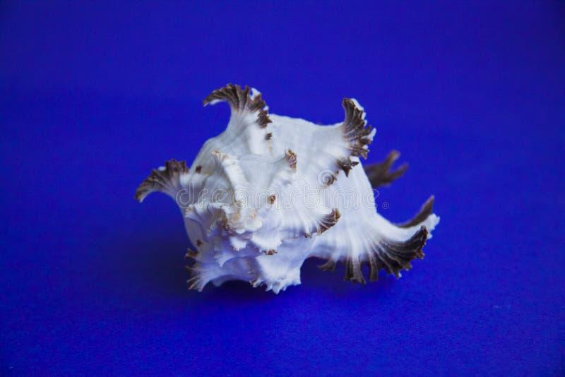 Roze overzeese shells met grote exemplaarruimte royalty-vrije stock foto