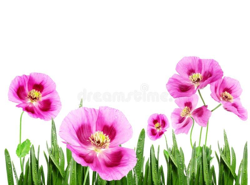 Roze papavers stock afbeelding