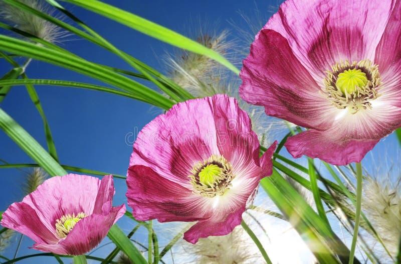 Roze papavers royalty-vrije stock fotografie