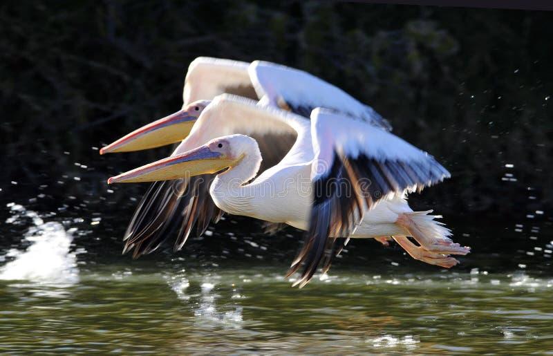Roze Pelikaan stor vit pelikan, Pelecanusonocrotalus arkivbilder