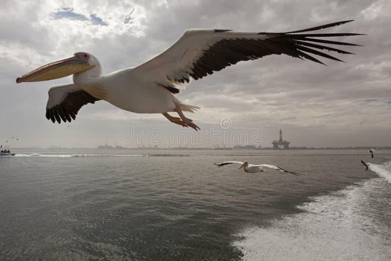 Roze Pelikaan stor vit pelikan, Pelecanusonocrotalus fotografering för bildbyråer