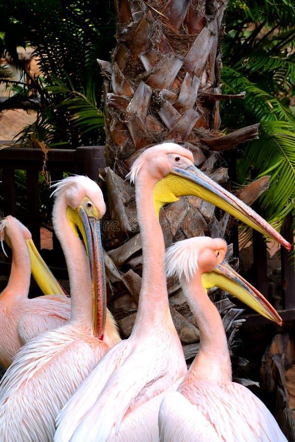 Roze pelikanen royalty-vrije stock foto