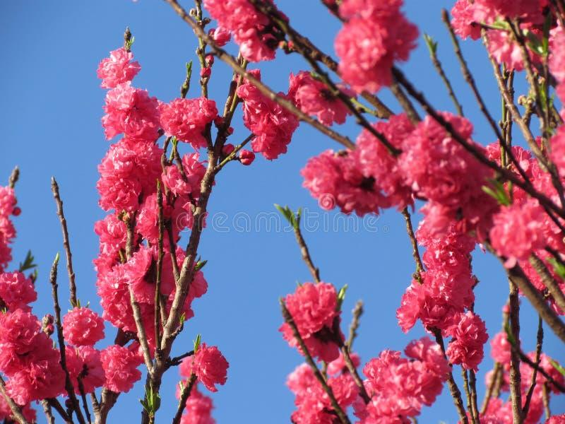 Roze perzikboombloemen stock foto's