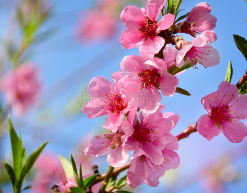Roze perzikboombloesems op zonnige de lentedag stock foto's
