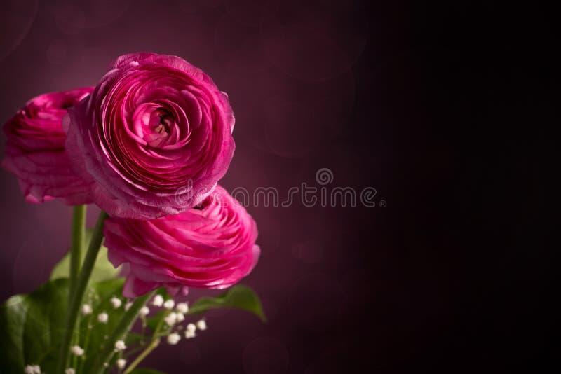 Roze Perzische boterbloem drie op donkere achtergrond stock afbeeldingen