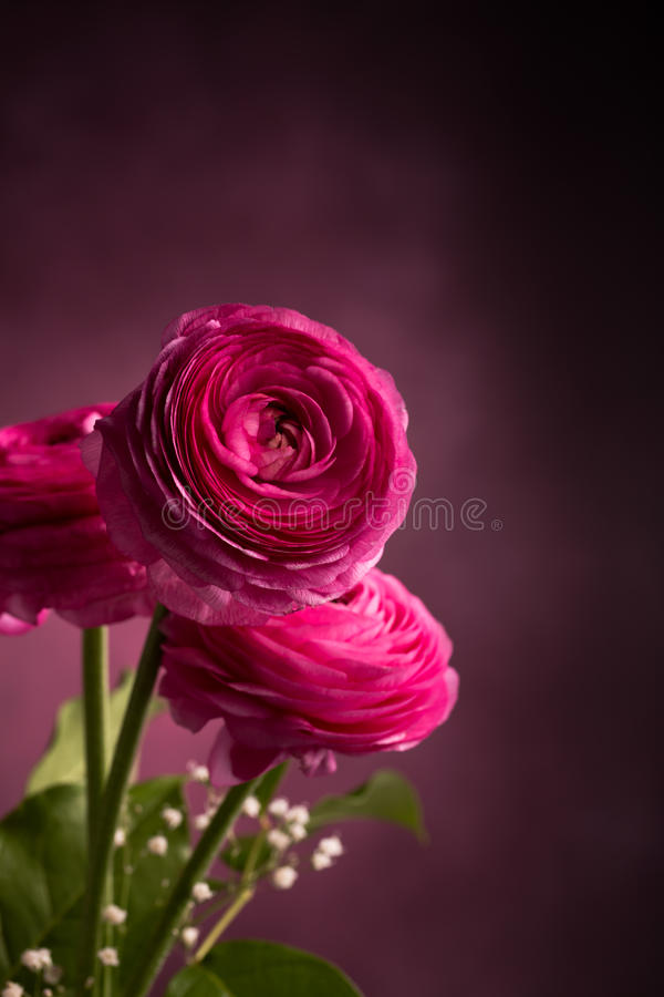 Roze Perzische boterbloem drie op donkere verticaal stock fotografie