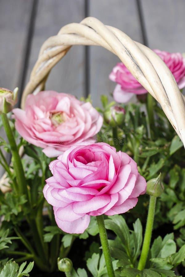 Download Roze Perzische Boterbloemenbloemen. Stock Afbeelding - Afbeelding bestaande uit schoonheid, bloemblaadje: 39118059
