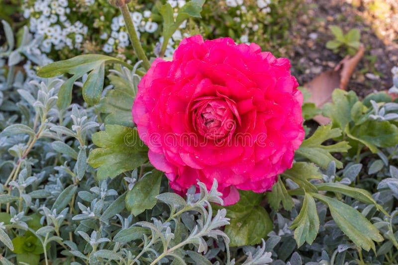 Roze Perzische boterbloemenbloemen (ranunculus) stock afbeeldingen
