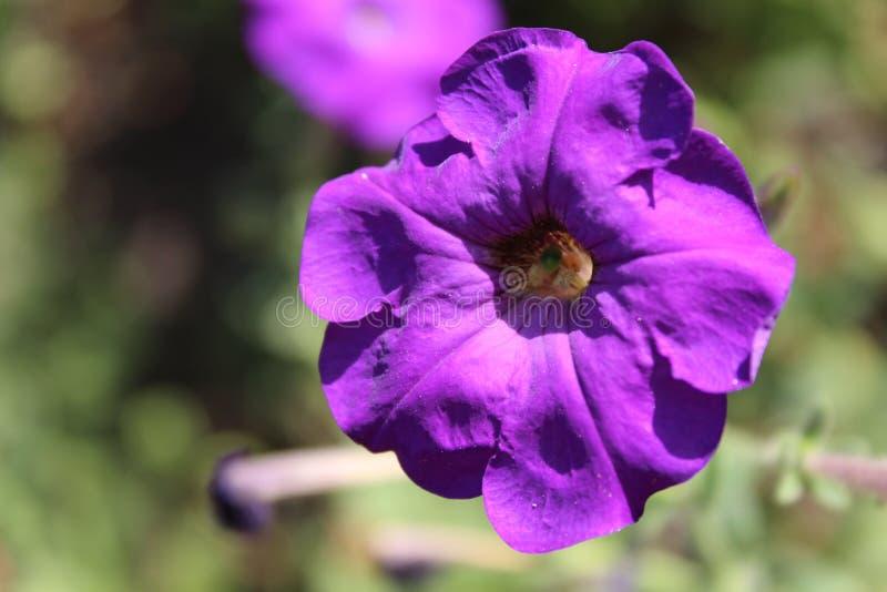 Roze petunia in de tuin royalty-vrije stock foto's