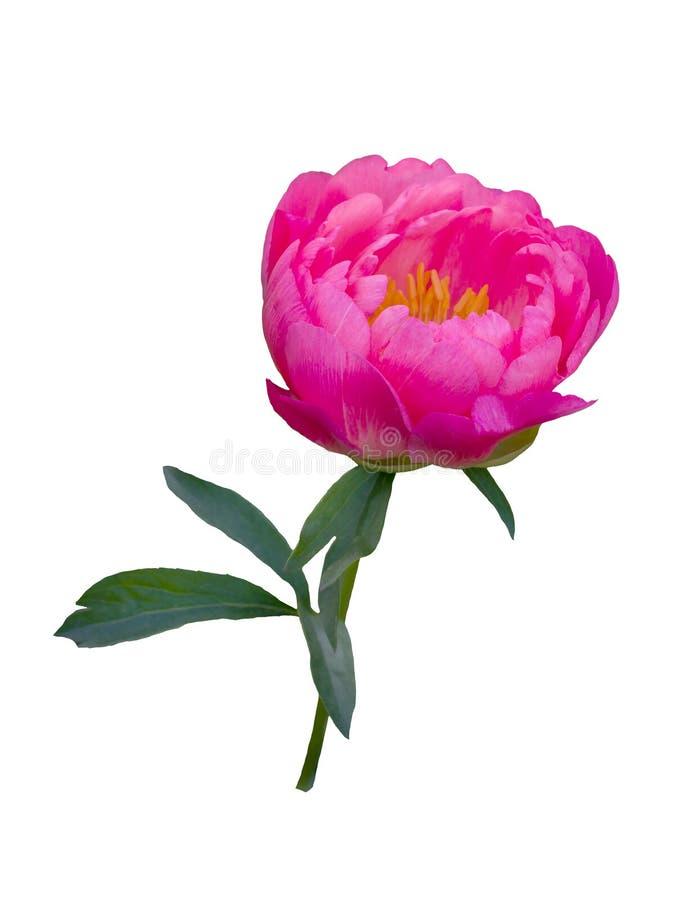 Roze pioenbloem die op witte achtergrond wordt geïsoleerd royalty-vrije stock fotografie