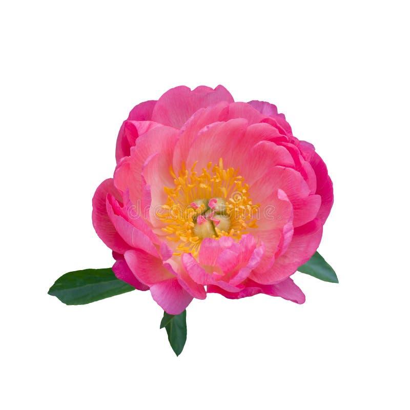 Roze pioenbloem die op witte achtergrond wordt geïsoleerd stock fotografie