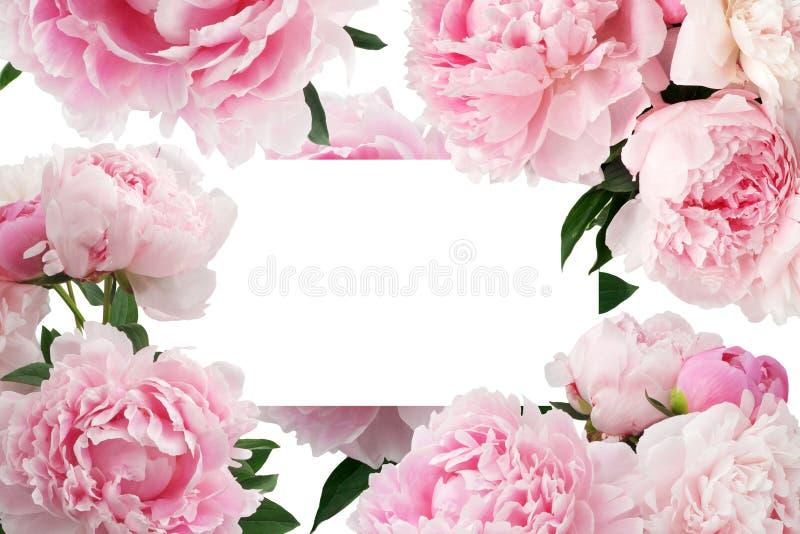 Roze pioenbloem op witte achtergrond met exemplaarruimte voor groetbericht stock illustratie