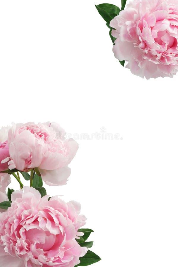 Roze pioenbloem op witte achtergrond met exemplaarruimte voor groetbericht royalty-vrije stock foto's