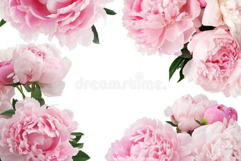 Roze pioenbloem op witte achtergrond met exemplaarruimte voor groetbericht royalty-vrije illustratie