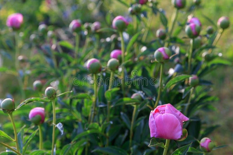 Roze pioenen in de tuin Bloeiende roze pioen Close-up van mooie roze Peonie-bloem royalty-vrije stock afbeelding