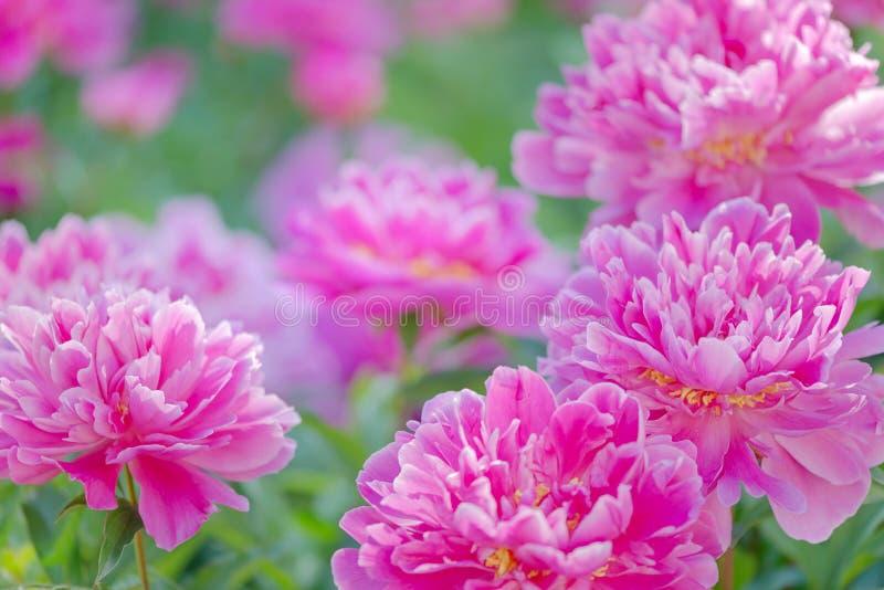 Roze pioenen in openlucht stock foto