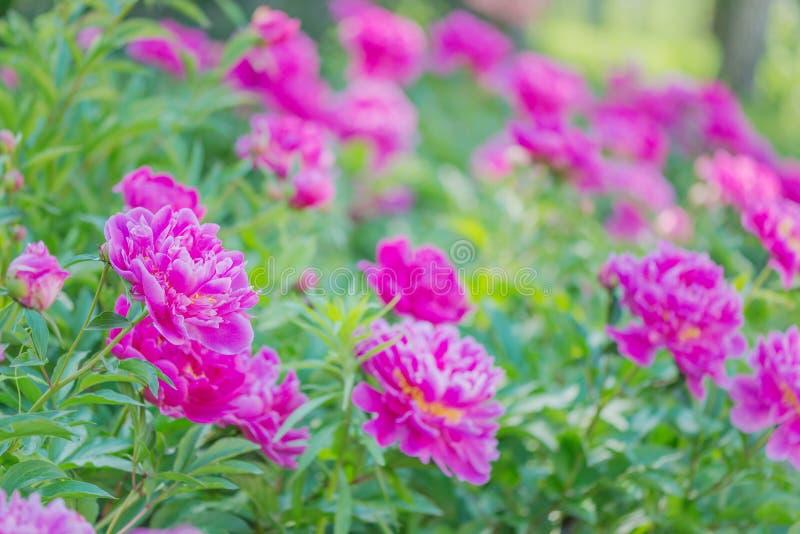 Roze pioenen in openlucht stock fotografie