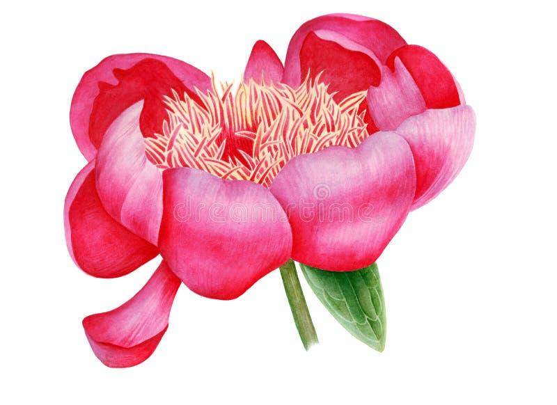 Roze pioenknop stock afbeelding