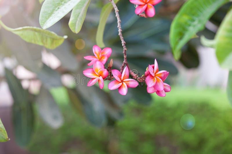 Roze plumeria op de boom stock fotografie