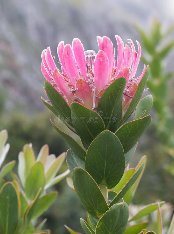 Download Roze Protea stock foto. Afbeelding bestaande uit naughty - 54085862