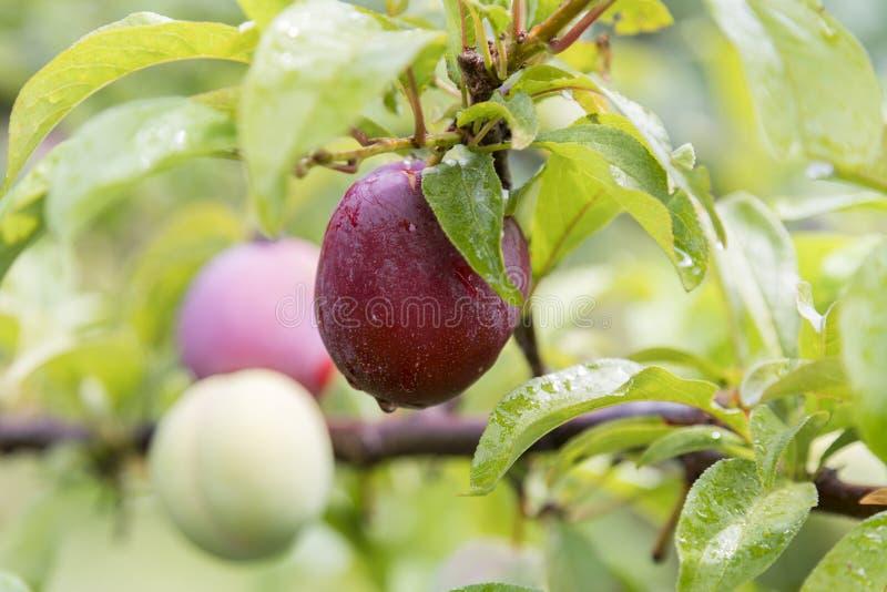 Roze pruimen, Oranje N S W veroorzaakt een groot aantal van verschillend fruit van Kersen aan druivenperen, pruimen, perziken, ap stock foto's