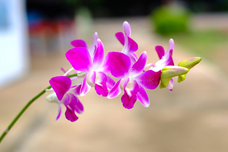 Roze of purpere orchideebloemen, Orchideekoningin van bloemen stock fotografie