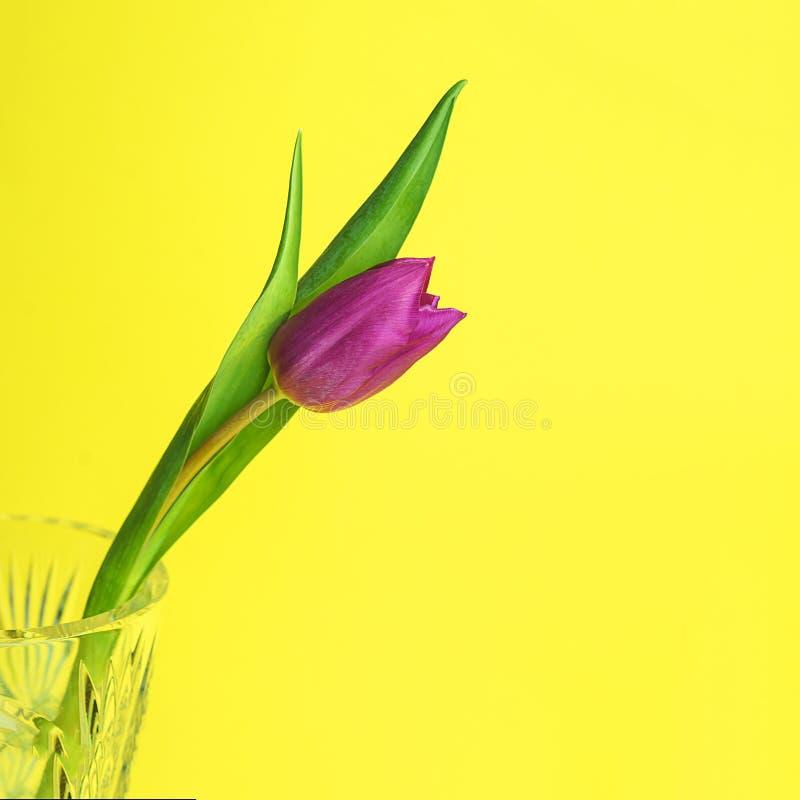 Roze of purpere tulpenbloem De groetkaart van Pasen of van de dag van Valentine ` s Ge?soleerd op gele achtergrond royalty-vrije stock fotografie