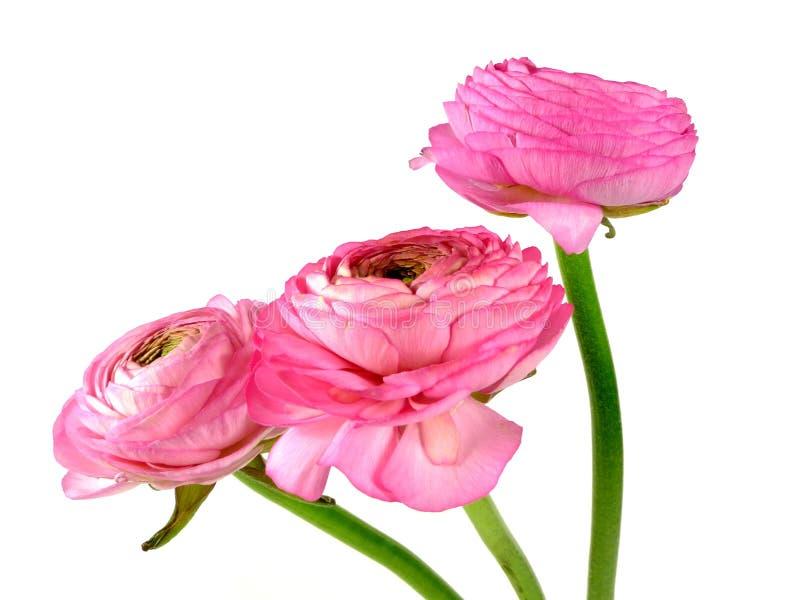 Download Roze Ranunculus stock foto. Afbeelding bestaande uit vers - 39113622