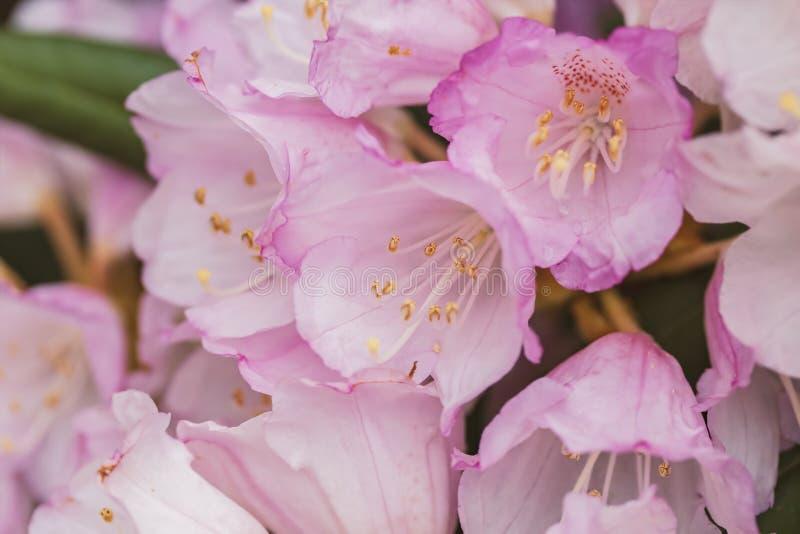 Roze Rhodedendron-bloemen royalty-vrije stock afbeelding