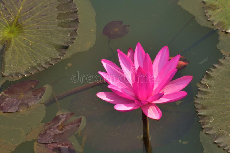Roze of rode waterlelie, Nymphaea-rubra op een natuurlijk landelijk meer dit soort bloem riep ook shaluk of shapla in India royalty-vrije stock afbeeldingen