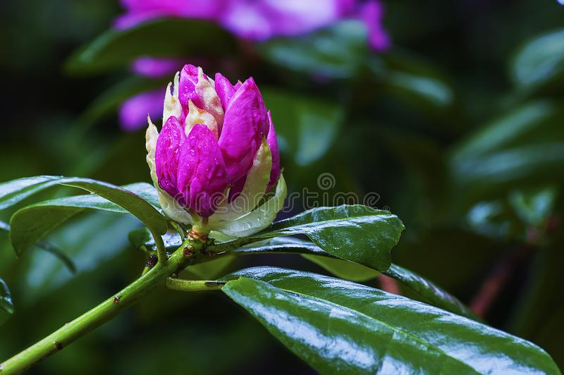Roze rododendronknop royalty-vrije stock afbeelding