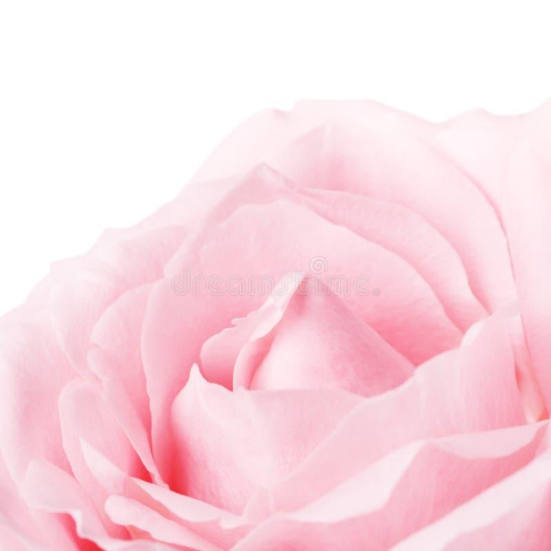 Roze Rose Flower Petals royalty-vrije stock foto