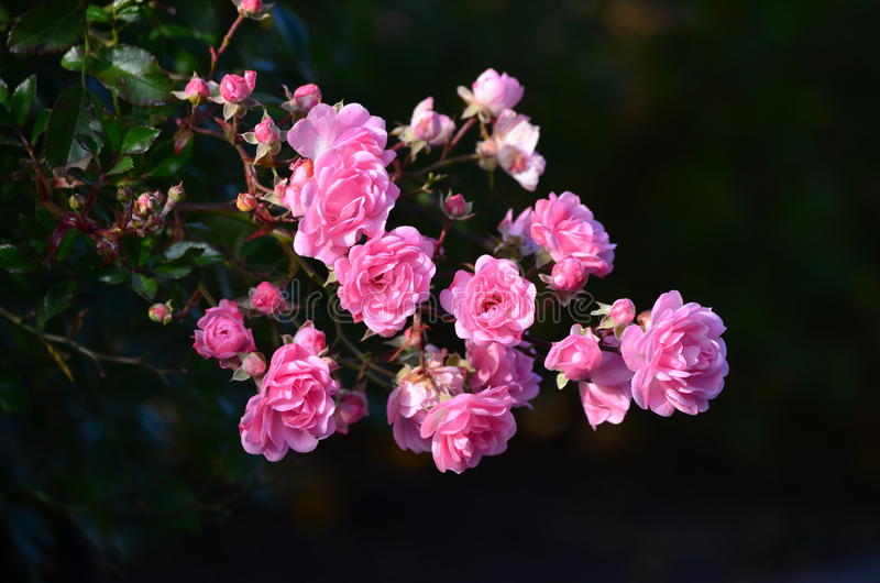 Roze Rose With Ukraine stock afbeelding